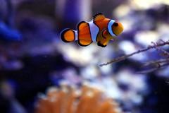 Tears of a Clown (Heaven`s Gate (John)) Tags: orange fish black macro nature topf25 water coral closeup aquarium marine nemo stripes salt clownfish anemone 25faves johndalkin heavensgatejohn
