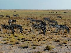 Plains zebra (Equus quagga, formerly Equus burchelli) (Linda DV (away)) Tags: africa travel nature canon river geotagged nationalpark zebra namibia etosha southernafrica equidae plainszebra burchellszebra 2013 geomapped equusquagga lindadevolder powershotsx40
