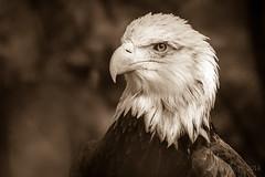 JaxZoo_1-5-14-4323.jpg (RobBixbyPhotography) Tags: eagle jacksonvillezooanimals zoosofnorthamerica