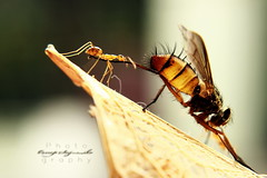 IMG_6222 (poncouns) Tags: ant bee poncouns