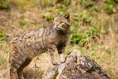 wild cat (Cloudtail the Snow Leopard) Tags: wild animal cat mammal bad katze tier felis wildpark mergentheim sugetier wildkatze silvestris