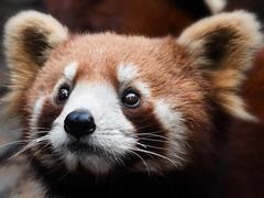 Red Panda (blichb) Tags: china panda ngc npc redpanda chengdu 2014 52weeks pandabase 52wochen mygearandme mygearandmepremium mygearandmebronze mygearandmesilver blichb olympusomdem1