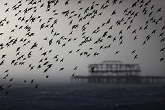Starling Murmuration and West Pier, in a Hail Storm (Alan MacKenzie) Tags: birds hail brighton wildlife westpier starlings brightonpier murmuration palacepier murmurations wildlifewednesday