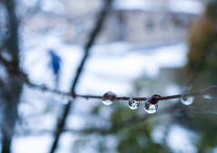 雪融け。 (e_haya) Tags: waterdrop branch drop nikond7000