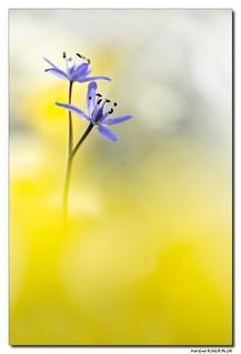 Scille à deux feuilles - Scilla Bifolia #2