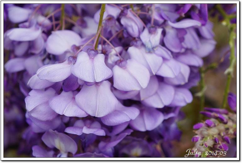 紫藤、老梅 (13)