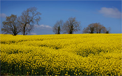 Oilseed field Co. Armagh (brian.mason32) Tags: