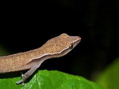 Madagascar Clawless Gecko (Ebenavia inunguis), Vohimana reserve, Madagascar