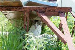 真鍋島 ネコ (GenJapan1986) Tags: travel animal japan cat island 日本 旅行 動物 okayama 2014 ネコ 岡山県 離島 nikond600 笠岡市 真鍋島 manabeisland