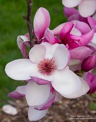 Pink Magnolia (Degies927) Tags: aucklandbotanicalgardens