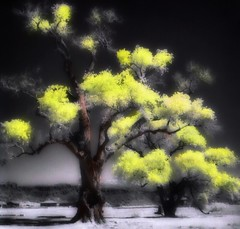 """Autumn Colors; Cottonwoods of """"Painted Comanche Camp"""". Hand tinted infrared."""