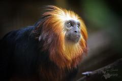 Golden-headed lion tamarin (Poess91) Tags: holland nature animal zoo monkey nikon nederland natuur nikkor nederlands dier aap tamarin dierentuin nikon5200 aapje manen goudkopleeuwaapje goldenheadedliontamarin leeuwaapje goldenheaded nikonphotography liontamarin d5200
