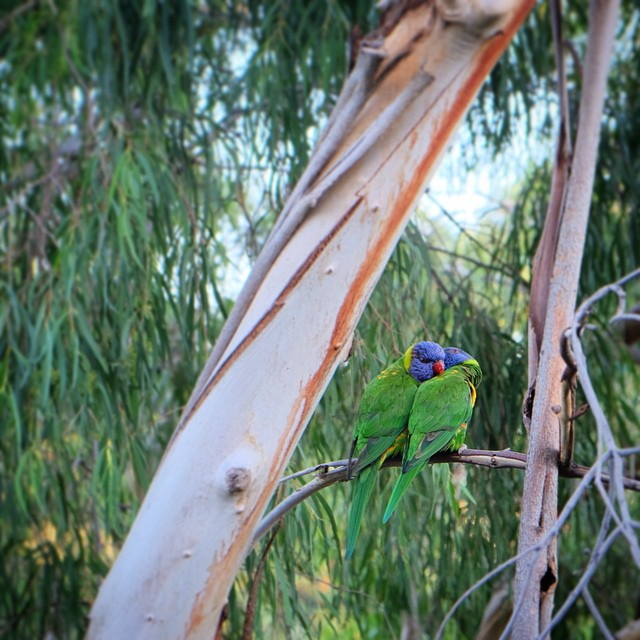 Happy Valentines Day from Australia #lorikeet