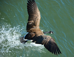 Touchdown (swong95765) Tags: bird water beauty animal river wings action goose landing graceful
