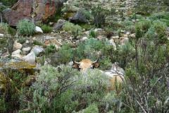 Vaca - Quebrada Ruripaccha (*Andrea B) Tags: lake peru honda hiking walk january hike glacier blanca valley laguna cordillera huaraz quebrada quebradahonda 2016 cordillerablanca january2016 peruandesguide quebradaruripaccha ruripaccha lagunapaccharuri paccharuri