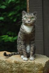 This is Gali. (rootcrop54) Tags: sculpture art wool felted cat miniature handmade ooak tabby needle needlefelting gali needlefelted