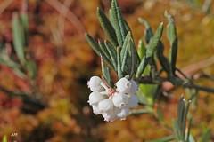 Andromde glauque / Bog Rosemary (alain.maire) Tags: canada nature quebec ericaceae bog bogrosemary tourbire andromedaglaucophylla andromdeglauque