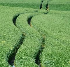 Spuren (Wunderlich, Olga) Tags: natur spuren grn rgen landschaft deu mecklenburgvorpommern getreide kurven inselrgen