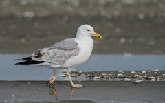 Caspian Gull (immature / second summer) (tickspics ) Tags: europe romania caspiangull laruscachinnans danubedelta musurabayblacksea