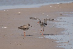 Redshank Courtship (Tony Howsham) Tags: canon wildlife sigma mating courtship redshank rspb rspbminsmere 150500 eos70d