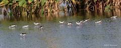 Stilts (spensered) Tags: bird birds wetlands stilts blackneckedstilts