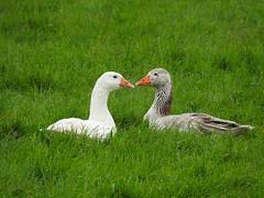 ganzen (Omroep Zeeland) Tags: ganzen