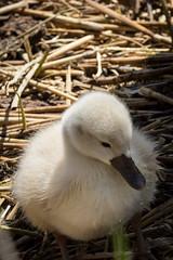 Baby Swan (RGaenssler) Tags: tiere aves vgel muteswan cygnusolor schwne anatidae anseriformes hckerschwan cygnetubercul floraundfauna cignobianco entenvgel wirbeltiere cygnemuet gnsevgel