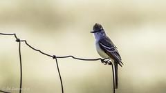 Ash-throated Flycatcher (Bob Gunderson) Tags: california birds northerncalifornia eastbay alamedacounty ashthroatedflycatcher myiarchuscinerascens flycatchers pattersonpassroad myiarchusflycatchers