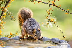 Squirrel Drinking