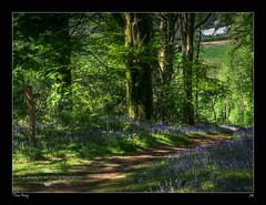 This Way (jeremy willcocks) Tags: uk trees green sign bluebells woodland woods path devon signpost nationaltrust euk bucklandabbey jeremywillcocks fujixt1 xf50140 wwwsouthwestscenesm