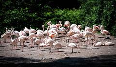 Rosaflamingos (SK snapshots) Tags: weltvogelpark walsrode vogelpark animal animals sksnapshots nikon d750 rosaflamingos rosaflamingo rosa flamingo flamingos phoenicopterus roseus