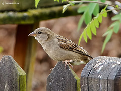Sparrow on the fence (GerWi) Tags: nature animals fence tiere outdoor natur sparrow zaun tier vogel spatz sperling singvogel
