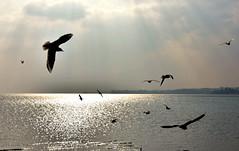 Les mouettes (Diegojack) Tags: nikon silhouettes lman paysages contrejour oiseaux mouettes prverenges nikonpassion d7200