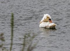 9Q6A0973 (2) (Alinbidford) Tags: swan muteswan greylaggoose whitethroat brandonmarsh alancurtis alinbidford