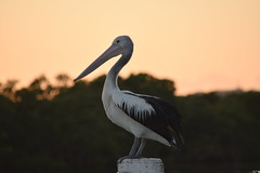 Pelican in the early morning light (Merrillie) Tags: sea sky mountains nature water birds animals fauna sunrise dawn bay nikon scenery colours waterfront wildlife australia pelican views nsw daybreak brisbanewater woywoy seaviews d5500 nswcentralcoast centralcoastnsw