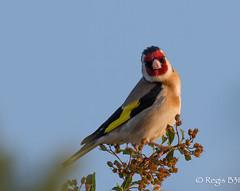 Un peu d'abus sur le rouge au bec ;-) (Rgis B 31) Tags: cardueliscarduelis chardonneretlgant europeangoldfinch fringillids passriformes arige bird domainedesoiseaux mazres oiseau