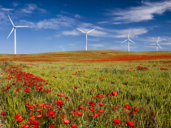 "Viento y amapolas...Serie ""En busca de campos de amapolas"". (RosanaCalvo) Tags: espaa flores europa paisaje nubes campos trigo palencia castillalen airelibre amapolas molinosdeviento campodeamapolas"