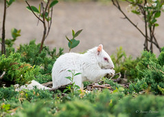 Albino squirrel (J.M. Bartkus) Tags: