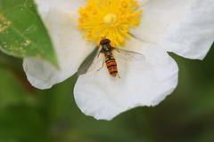 Episyrphus balteatus - Gemeine Parkschwebfliege, Mnnchen , NGID1054833870 (naturgucker.de) Tags: episyrphusbalteatus naturguckerde kleingarteninkrefelduerdingen cjrgengehnen ngid1054833870