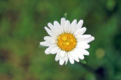 Marguerite (Mariie76) Tags: macro nature fleur jaune soleil eau couleurs coeur pistil blanc verdure gouttes ptales macrophotographie etamines