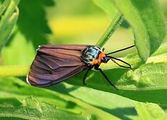 Virginia ctenucha moth near Lime Springs IA 854A9984 (lreis_naturalist) Tags: county virginia howard moth reis iowa larry springs lime ctenucha