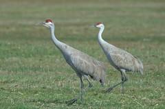 Sandhill Cranes (Grus canadensis) DDZ_2470 (NDomer73) Tags: bird crane april adel sandhillcrane 2016 09april2016