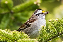 White-throated Sparrow, Pippy Park Three Pond Barrens (frank.king2014) Tags: ca canada stjohns whitethroatedsparrow newfoundlandandlabrador