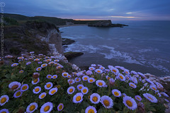 Spring Blossoms at the Coast (Jaykhuang) Tags: ocean california santacruz daisies sunrise coast wildflowers davenport springtime erigeron bonnydoonbeach    sharkfincove