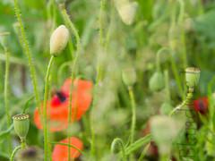 Poppies (Blandine - L) Tags: bokeh olympus marais coquelicots mai2016