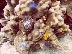 Koh Tao (Scuba Diving), Thailand (Jan-2016) 14-070 (MistyTree Adventures) Tags: ocean sea water coral thailand twins marine asia seasia underwater outdoor diving scubadiving kohtao gulfofthailand panasoniclumix