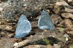 Bookends (Karen McQuilkin) Tags: macro butterflies tiny bookends lycaenidae bluemacro karenmcquilkin
