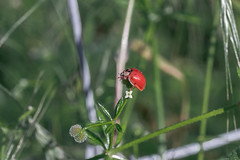 Ladybug (Nikan Likan) Tags: red white paris flower macro green yellow vintage lens japanese 50mm prime bokeh mount ladybird ladybug manual pk smc f8 depth | 2016 28 fied pentaxa
