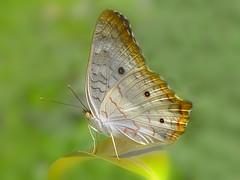Anartia jatrophae (Rui Par) Tags: brazil flower butterfly bug amazon flor bugs borboleta par anartiajatrophae jatrophae anartia abaetetuba