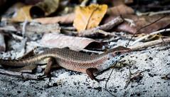 Bornean Skink (nerdigwalking) Tags: natur nature wildlife lizard skink reptile reptil amphibien animal tier borneo asien asia malaysia manukan pulau